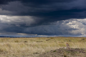 Cheetah (Acinonyx jubatus) resting on a termite hill and storm brewing, Masai-Mara