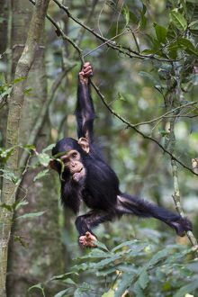 Chimpanzee (Pan troglodytes) infant, aged one and a half playing in tree, in tropical