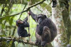Chimpanzee (Pan troglodytes) mother and baby age two and a half, tropical forest