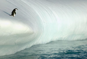 A chinstrap penguin (Pygoscelis antarctica)contemplating the leap from an iceberg
