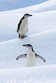 Chinstrap Penguins (Pygoscelis antarcticus) standing on ice. South Shetland Islands