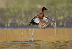 marie read/cinnamon teal anas cyanoptera male taking flight