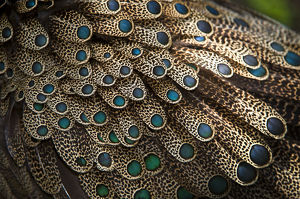 Close up of feathers of male Malayan peacock pheasant (Polyplectron malacense)