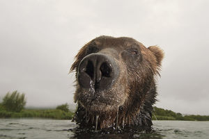 Close-up of Brown bear (Ursus arctos) in lake, Kamchatka, Far east Russia, August