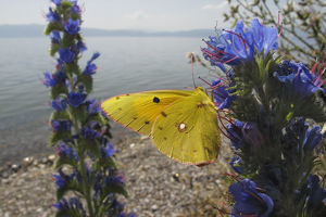 wild wonders europe/3/clouded yellow butterfly colias croceus feeding