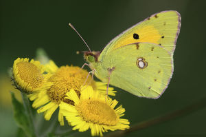 uk wildlife august/clouded yellow butterfly colias croceus fleabane