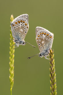 Common blue butterflies (Polyommatus icarus) resting on grasses, Vealand Farm, Devon, UK