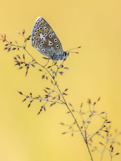 uk wildlife august/common blue butterfly polyommatus icarus resting