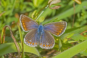 uk wildlife august/common blue butterfly polyommatus icarus female