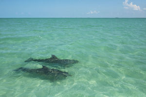 Two Common Bottlenose Dolphin (Tursiops truncatus) in shallow water. Punta Allen