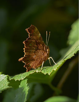 uk wildlife august/common butterfly polygonia c album sussex england
