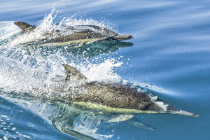 Common dolphin (Delphinus delphis) reflection as its swimming on the surface of the ocean