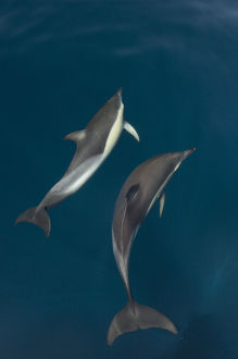 Common dolphins (Delphinus delphis) pair in mating ritual, Atlantic ocean, Portugal, July