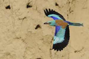 staffan widstrand/common roller coriacias garrulus flight nesting