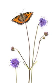 Devil's-bit scabious (Succisa pratensis) and Small tortoiseshell butterfly (Aglais