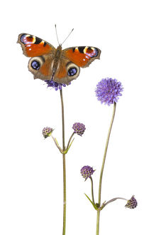 Devil's-bit scabious (Succisa pratensis) and Peacock butterfly (Inachis io) Peak