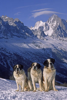 Domestic dog, St. Bernard / Alpine Mastiff, three on snow in Alps, France