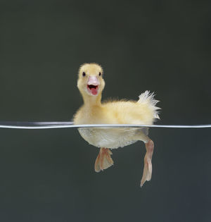 Duckling swimming on water surface, captive, UK