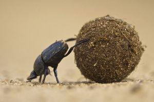Dung beetle (Scarabaeidae) pushing ball of dung on Venetia Limpopo Reserve, Limpopo