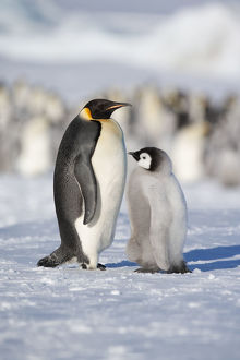 Emperor penguin adult and chick (Aptenodytes forsteri) within colony at Snow Hill