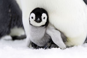 Emperor penguin (Aptenodytes forsteri), chick in brood pouch, Snow Hill Island, Antarctic