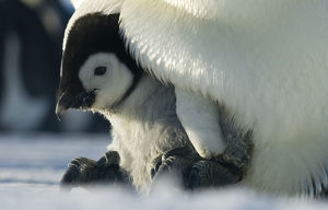 Emperor penguin {Aptenodytes forsteri} chick emerging from brood chamber on adult's