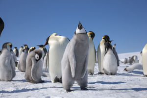 Emperor penguin chick flapping its wings (3 of 3) at Snow Hill Island rookery, Weddell Sea