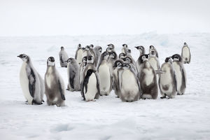Emperor penguin chicks (Aptenodytes forsteri) with lone Adelie penguin (Pygoscelis