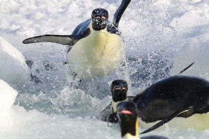 Emperor penguins (Aptenodytes forsteri) explode out of the water, returning to breed