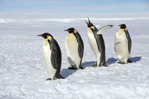 Emperor penguins (Aptenodytes forsteri) four adult penguins stand in row waiting