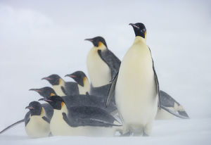 Emperor penguins (Aptenodytes forsteri) huddle together in snow storm near Snow Hill