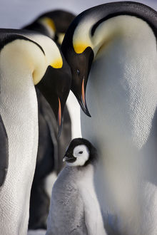 Emperor penguins (Aptenodytes forsteri) with young chick at Snow Hill Island rookery