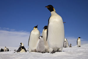 Emperor penguins (Aptenodytes forsteri) adults and chicks at Snow Hill Island rookery