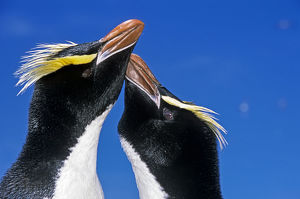Erect-crested penguin (Eudyptes sclateri) pair in greeting display. Antipodes Island