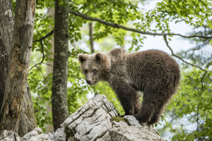 European brown bear (Ursus arctos), juvenile standing on rocks in the Karst forest