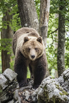 European brown bear (Ursus arctos), alpha male in Karst forest, Notranjska, Slovenia