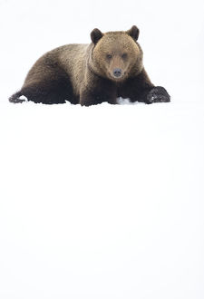 European brown bear (Ursus arctos) resting in the snow, Finland, April