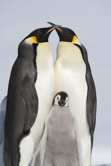 Familiy portrait of Emperor penguin (Aptenodytes forsteri) parents and chick, Snow
