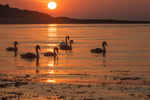 uk wildlife august/family mute swans cygnus olor sunrise silhouetted