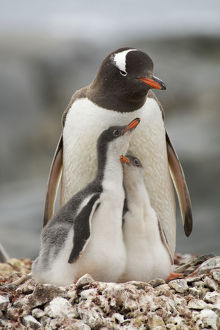 Family portrait of Gentoo penguins (Pygoscelis papua) adult with two chicks on the nest