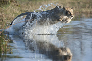 Female African lion (Panthera leo) jumping in to the Khwai river, Okavango Delta