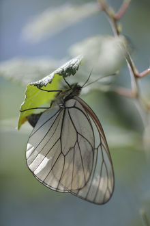 wild wonders europe/3/female black veined white butterfly aporia crataegi