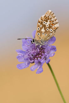 Female chalkhill blue butterfly (Lysandra coridon) with wings closed resting