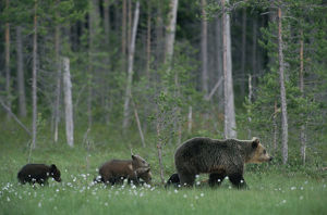 Female European Brown bear with cubs following {Ursus arctos} Lapland Finland