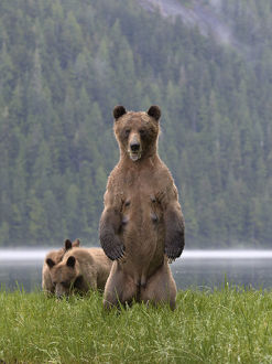 Female Grizzly bear (Ursus arctos horribilis) standing up, with two cubs nearby