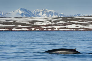 Fin whale (Balaenoptera physalus) surfacing with mountain landscape, Liefdefjorden