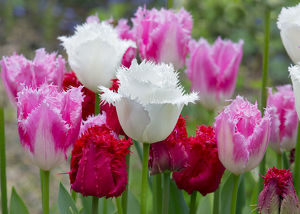 Fringed Tulip 'Dallas' (Pink) and Tulipa 'Swan Wings' (White)