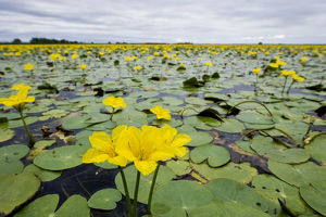 Fringed water lilies / Yellow floating heart (Nymphoides peltata) flowers on lake