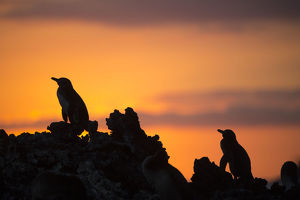 Galapagos penguin (Spheniscus mendiculus) silhouetted at sunset, Elizabeth Bay, Isabela