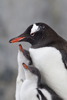 Gentoo Penguin (Pygoscelis papua) with two large chicks